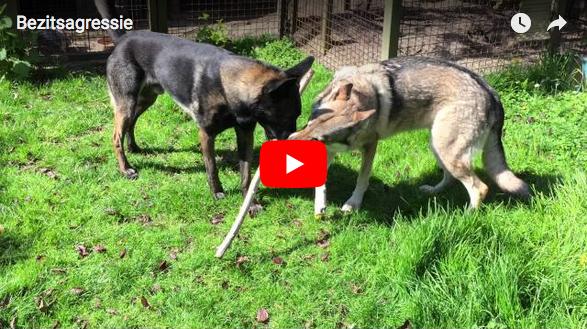 bezitagressie video gedrag hond Eline Teygeler